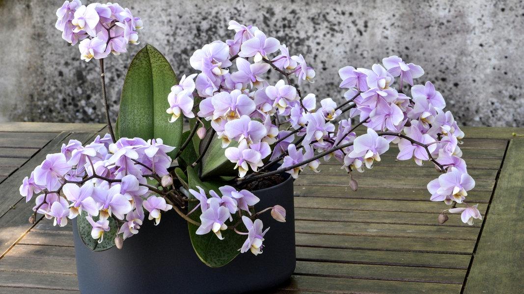 Orchideen im Winter richtig pflegen