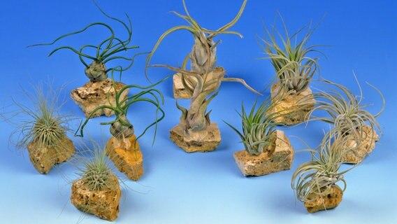 Tillandsien zarte exoten f rs wohnzimmer ratgeber garten zimmerpflanzen - Tillandsien deko ...