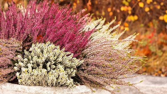 Kubel Und Balkonkasten Herbstlich Bepflanzen Ndr De