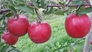 Braeburn-Äpfel am Zweig © Esteburg - Jork Fruit Center
