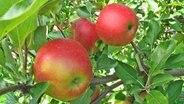 Am Baum hängende Elstar Boerekamp-Äpfel © Esteburg - Jork Fruit Center