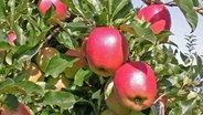 Gala müssen Äpfel am Baum sein © Esteburg - Jork Fruit Center