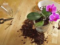 orchideen gie en d ngen und zur ckschneiden ratgeber garten zimmerpflanzen. Black Bedroom Furniture Sets. Home Design Ideas