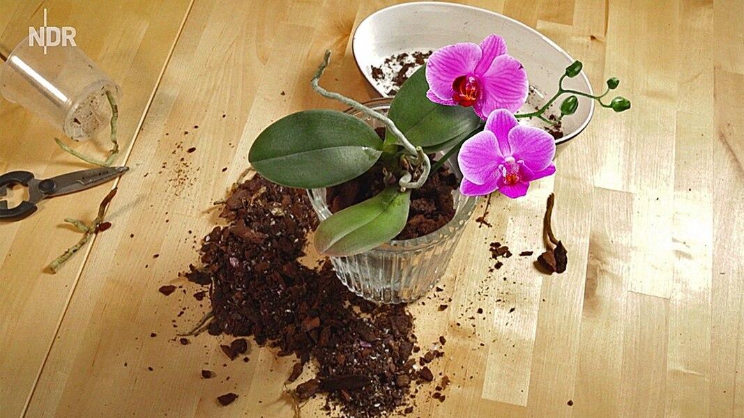 orchideen umtopfen orchideen umtopfen orchideen umtopfen was gibt es zu beachten garten mix. Black Bedroom Furniture Sets. Home Design Ideas