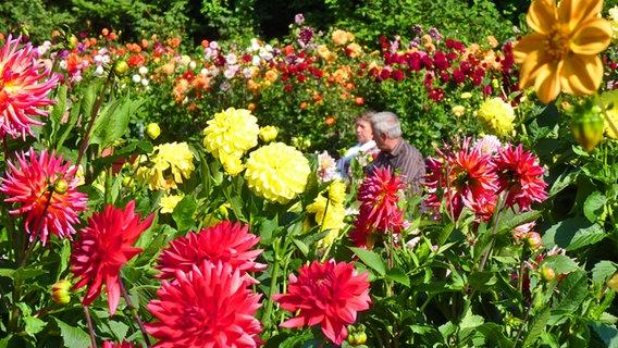 Beliebt Bevorzugt Dahlien pflanzen, pflegen und überwintern | NDR.de - Ratgeber #OH_97