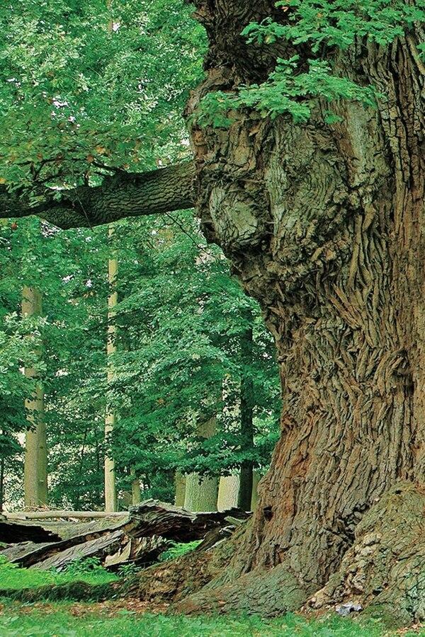 Ivenacker Eichen und der Baumkronenpfad