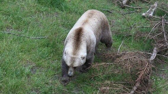 Zoo Osnabrück | Bär aus Gehege ausgebrochen und erschossen