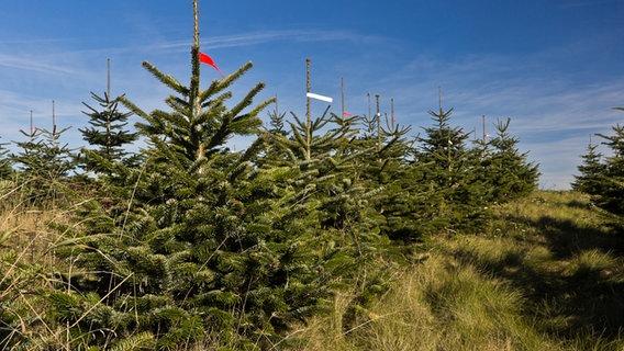 Weihnachtsbaum Kaufen Gütersloh.Weihnachtsbaum Kaufen Nordmanntanne Oder Fichte Ndr De Ratgeber