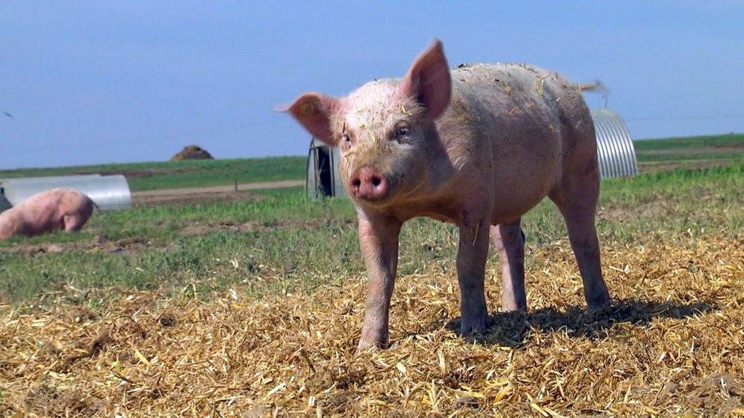 schweinefleisch sind tierwohlsiegel sinnvoll ratgeber verbraucher. Black Bedroom Furniture Sets. Home Design Ideas