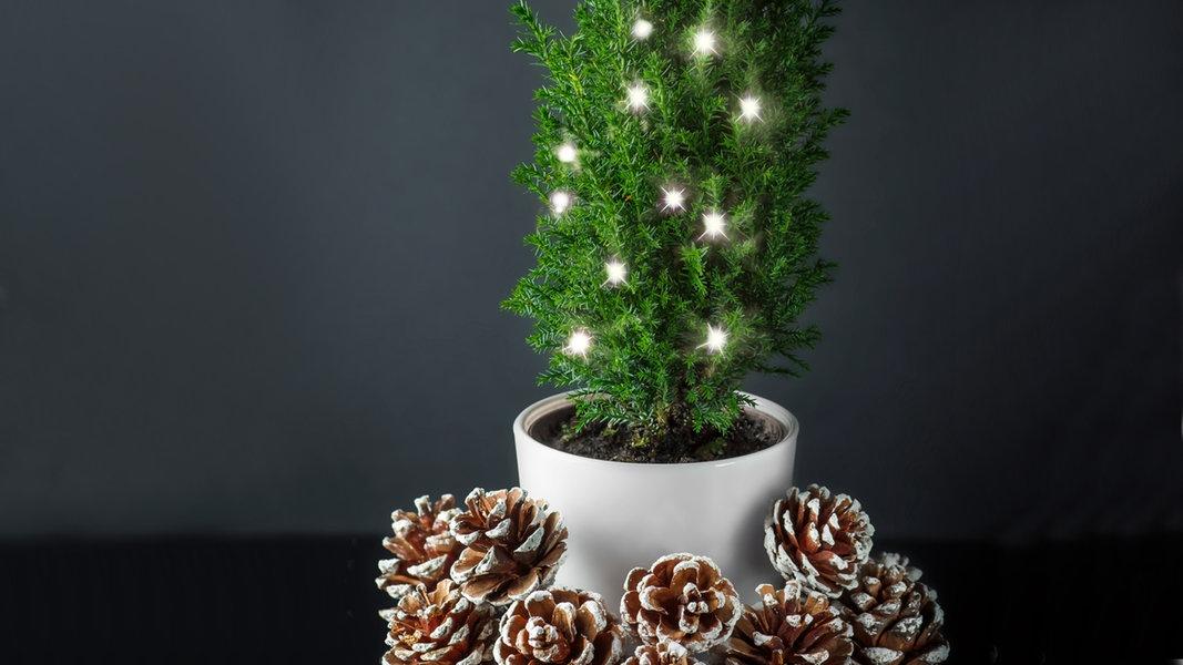 Suche Schöne Weihnachtsdeko.Weihnachtsdeko Mini Koniferen Statt Tannenbaum Ndr De Ratgeber
