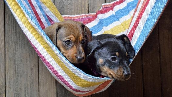 Zwei Hunde sitzen in einer Hängematte. © imago Foto: blickwinkel