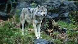 Ein Wolf steht im Wald. © picture alliance Foto:  Rolf Bender/OKAPIA