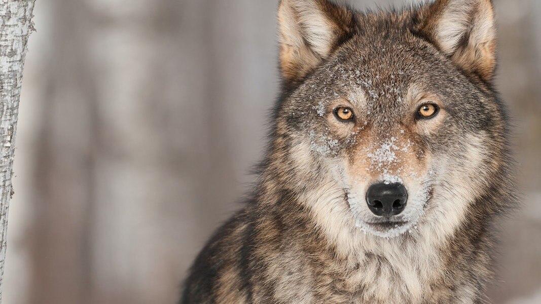 Bund entscheidet über leichteren Wolfs-Abschuss