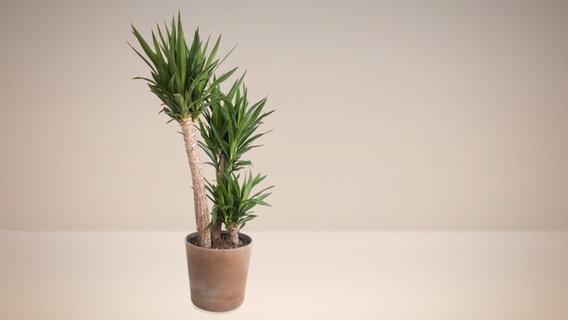 Zimmer-Palmen richtig pflegen | NDR.de - Ratgeber - Garten ...